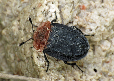Oiceoptoma thoracicum Red-breasted - Carrion Beetle
