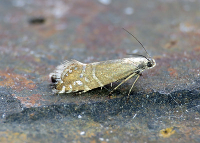 19.002 Speckled Fanner - Glyphipterix thrasonella