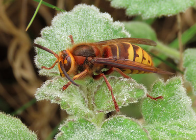 Bees, Wasps, Sawflies and Ants