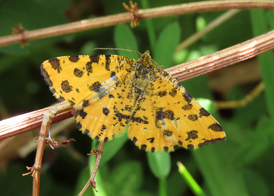 70.229 Speckled Yellow - Pseudopanthera macularia